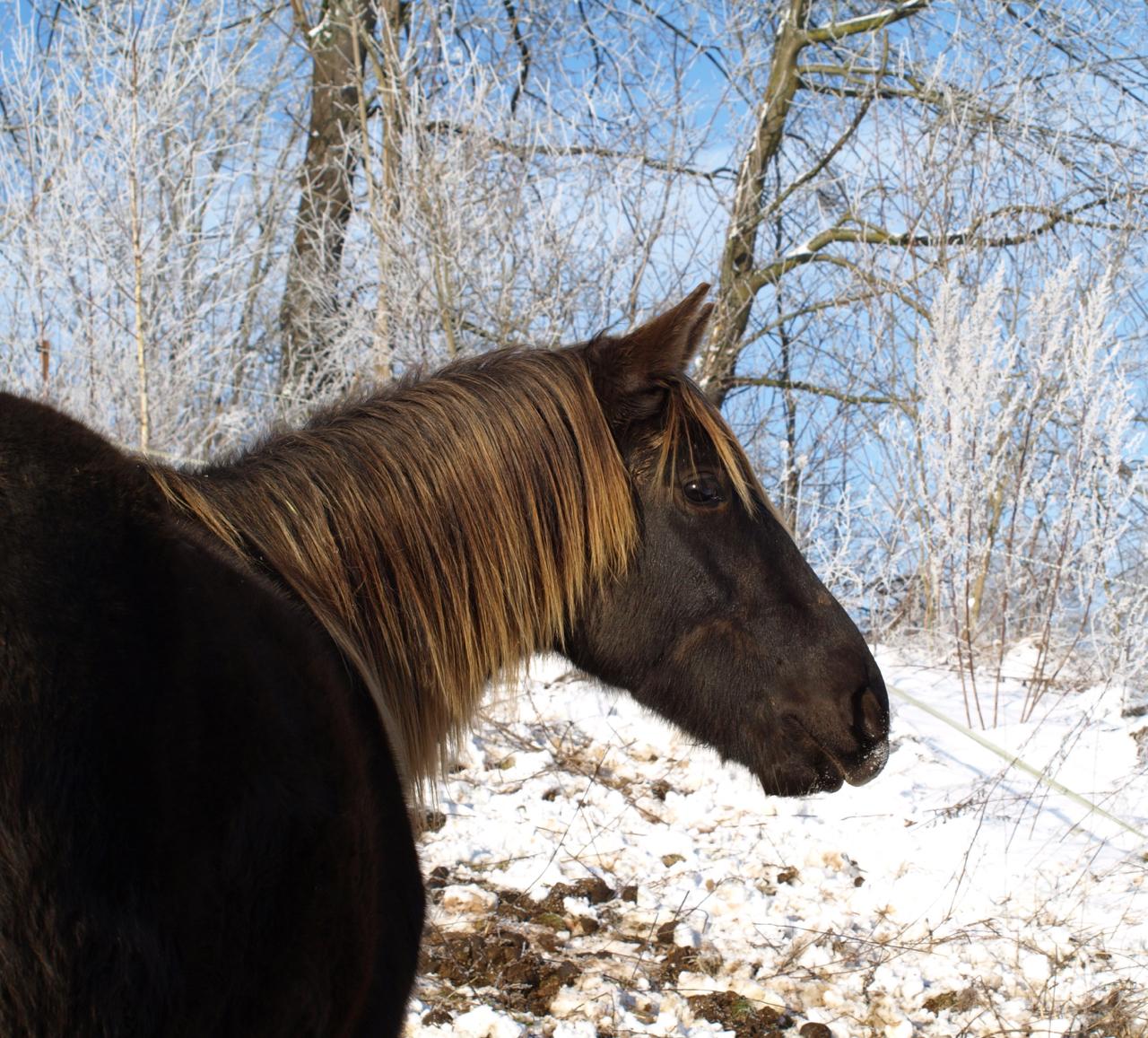 Das sanfte Rocky Mountain Horse